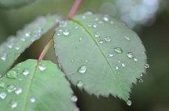 Rain drops on green leaves. Rain drops and green leaves Royalty Free Stock Images