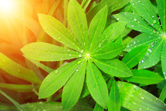 Rain drops on a green leaves Royalty Free Stock Image