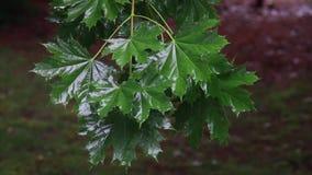 Rain drops on green leaves stock video