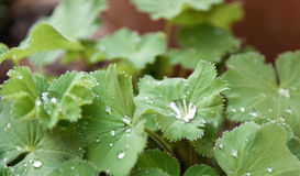 Rain drops on green leaves Stock Image