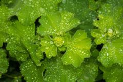Rain Drops on Green Leaves stock photos