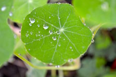Rain drops on green nasturtium leaf. Nasturtium leaf with water drop after light raining Royalty Free Stock Photography