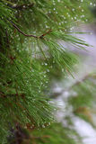 Rain drops on green pine needles  Royalty Free Stock Photography