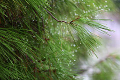 Rain drops on green pine needles  Royalty Free Stock Photo