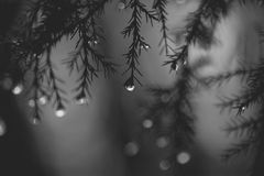 Rain drops hanging from a tree. Raindrops hanging from a tree in a forest Royalty Free Stock Photos