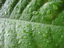 Rain drops keep falling on the green leaves in Bangkok Royalty Free Stock Photo