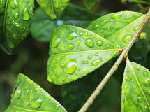 Rain drops on large leaf shrub Stock Images
