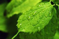Rain drops on leaf. Close up of rain drops on green leaf Stock Image