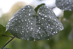 Rain drops on leaf. Drops of rain on leaf royalty free stock photos