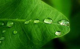Rain drops on  a leaf. A leaf with rain drops Royalty Free Stock Images
