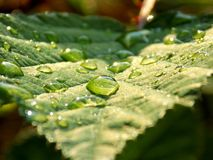 Rain drops on leaf. Drops on leaf after rain Royalty Free Stock Image