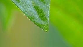 Rain drops1. Rain drops on a leaf stock footage
