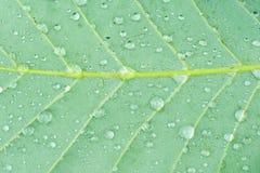 Rain drops on a leaf. Macro shot of rain drops on a fallen leaf showing the veins of the leaf Stock Photo