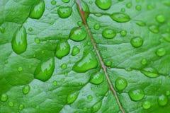 Rain drops on leaf. Rain drops on bright green rose leaf Royalty Free Stock Image