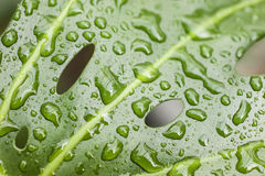 Rain drops on leaf of cheese plant Stock Image