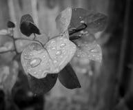 Rain drops on leaf. Rain drop on leaf black and white Stock Photography