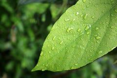 Rain drops on the leaf. Rain drops on the leaf in the garden Stock Photos