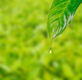 Rain drops on leaf Stock Photography