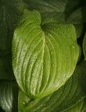 Rain drops on leaf. Hosta leaf with rain drops in spring garden Royalty Free Stock Image