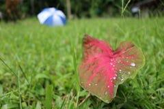 Rain drops on leaf with umbrella. Water,Rain drops on leaf with umbrella blur on the lawn Stock Images
