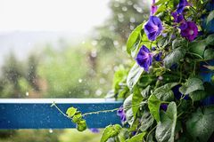 Rain drops. A leafs and flowers covered in waterdrops after rain and a misty morning Royalty Free Stock Photography