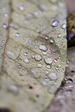Rain drops on leaves. Leaves on a rainy day Stock Photos