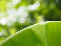 Rain drops on the leaves banana on blurred of nature background. Beautiful environment stock photo