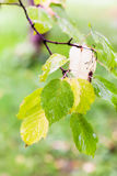 Rain drops on leaves of boxelder maple Royalty Free Stock Image