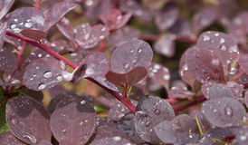 Raindrops on the Leaves Royalty Free Stock Photo