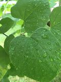 Rain drops on the leaves. Fresh  rain drops on the green leaves Stock Photo