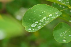Rain drops on the leaves Stock Images