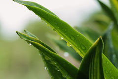 Rain drops  on leaves  green Stock Photo