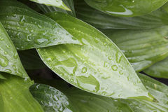 Rain drops on leaves Royalty Free Stock Image