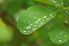 Rain drops on the leaves Stock Photography