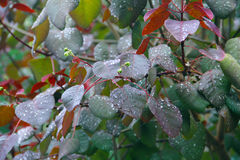 Rain Drops on Leaves. Rain Drops on Red and Green Leaves Stock Images