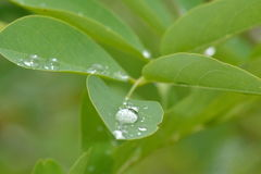 Rain drops on the leaves Royalty Free Stock Image