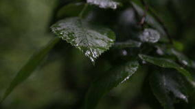 Rain drops on leaves of trees. Summer, rain in the city, spray of rain on the leaves of trees stock footage