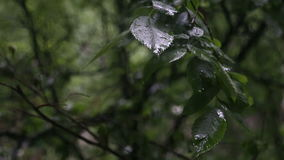 Rain drops on leaves of trees. Summer, rain in the city, spray of rain on the leaves of trees stock video footage