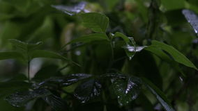 Rain drops on leaves of trees stock video footage