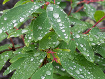 Rain drops on leaves Royalty Free Stock Photography