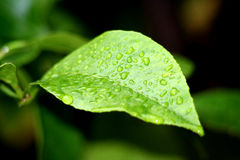 Rain Drops on a Lemon Leaf. A close up view of tiny water droplets on a bright green lemon leaf stock images