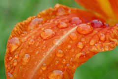 Rain drops on lily petal Royalty Free Stock Image