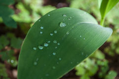 Rain drops on lily of the valley leaves in the forest Royalty Free Stock Image