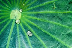 Rain drops on lotus leaf. In morning Royalty Free Stock Photo