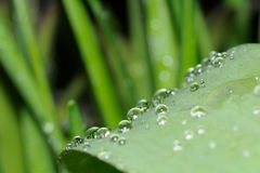 Rain drops macro on a lilly of the valley leaf Royalty Free Stock Image