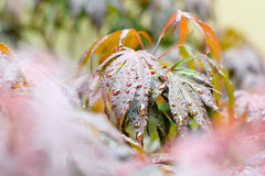 Rain Drops on Maple leaves Stock Images