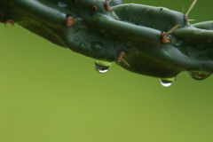 Rain Drops off Cactus. Close up of rain drops on cactus royalty free stock photos