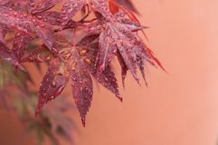 Rain Drops On Red Japanese Maple Leaves In A Japanese Stock Images