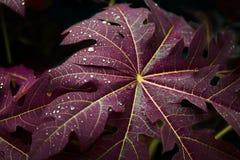Rain Drops on Papaya Leaves royalty free stock photo