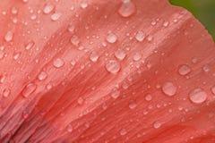Rain drops on petal of poppy Royalty Free Stock Photography